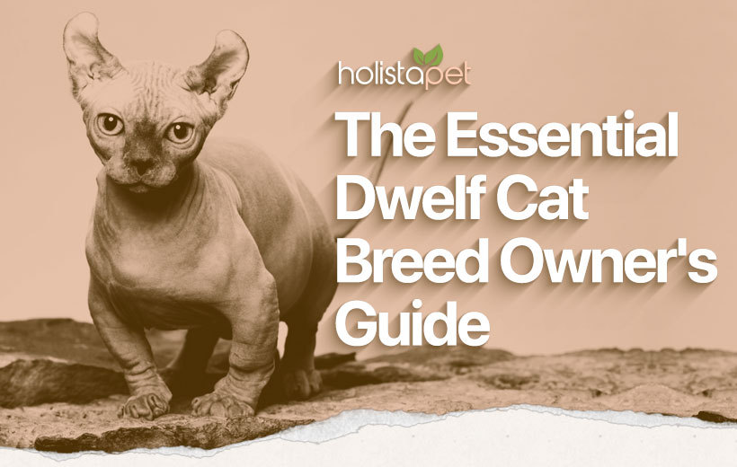 dwelf cat breed featured blog image