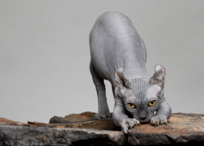 a hairless grey cat stretching