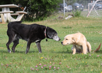 adult dog and puppy sniffing each other