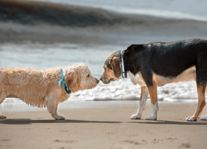 two pups sniffing each other at the beach