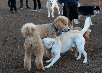 introducing dogs at the dog park