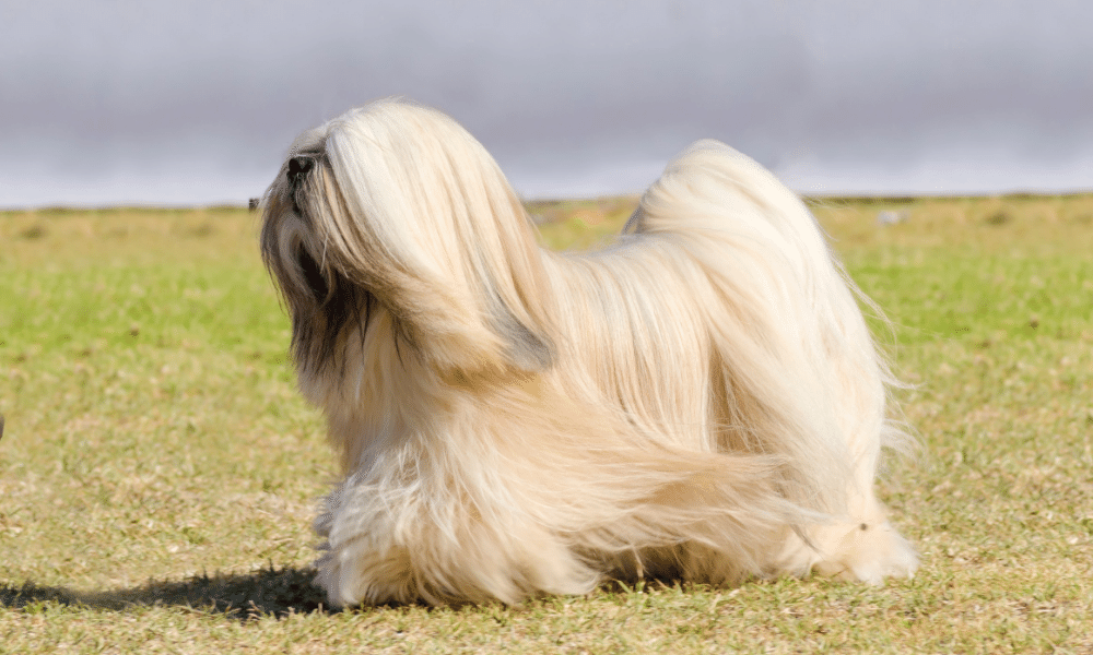 long haired dog with running outside