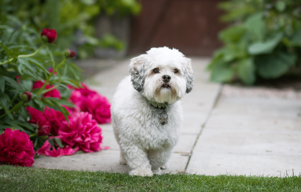 fluffy dog waiting by rose bushes