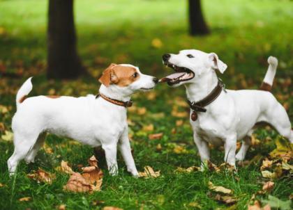 male dog and female dog socialize at park