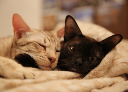 two felines sleeping in a blanket