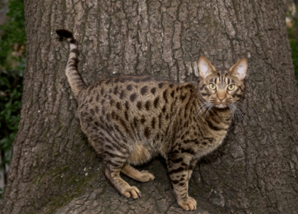 ocicat cat breed physical characteristics