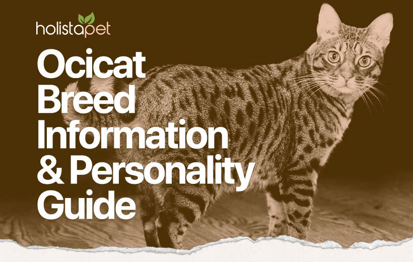 ocicat cat breed featured image