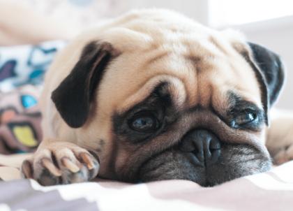depressed pug dog on blanket