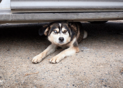nervous pup hiding under car