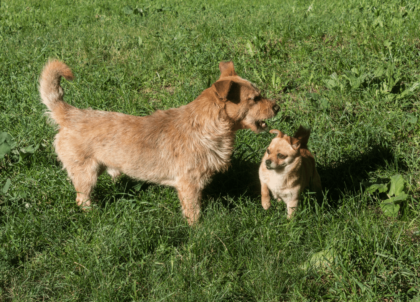 territorial pups interacting outside