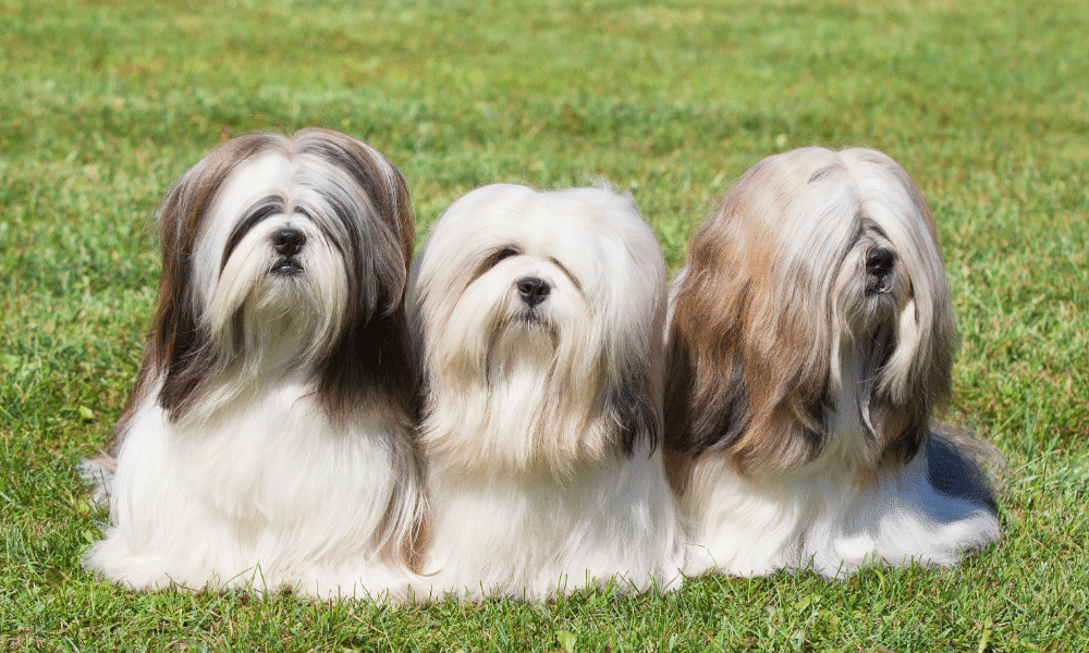 three long haired canines outside on grass