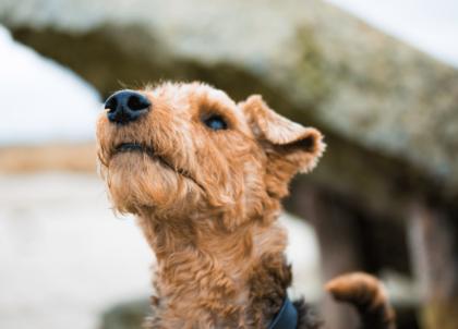 welsh terrier looking away