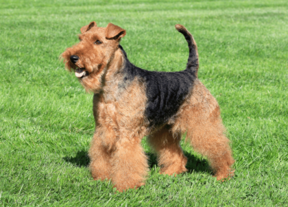 welsh terrier on grass side view