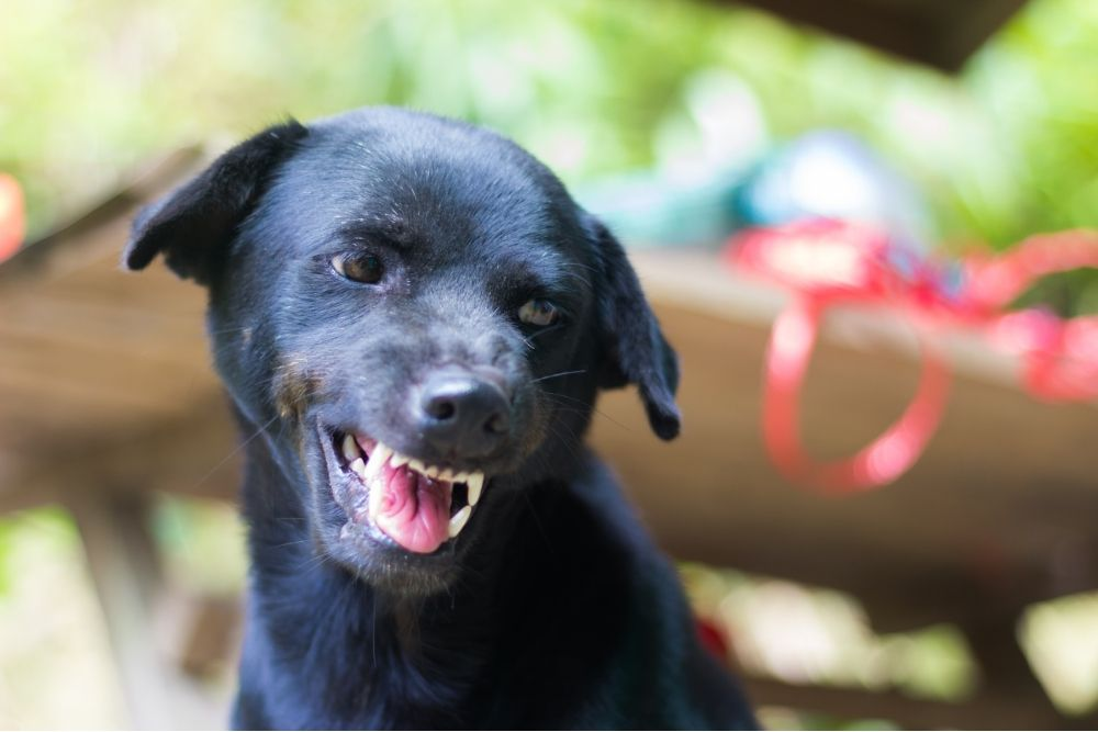 small black dog snarling outside on a porch