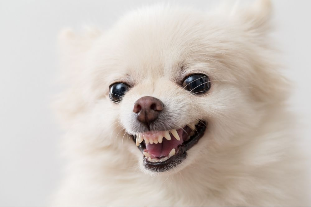 small white puppy showing its teeth in an aggressive manner