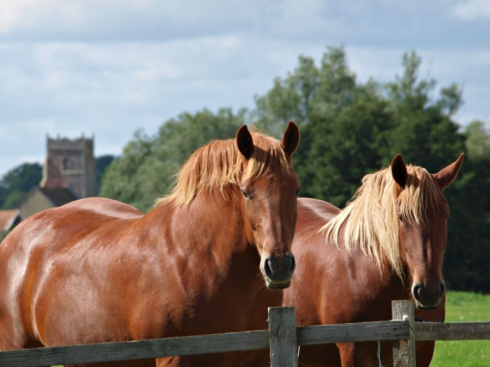 horses standing behind wood fence