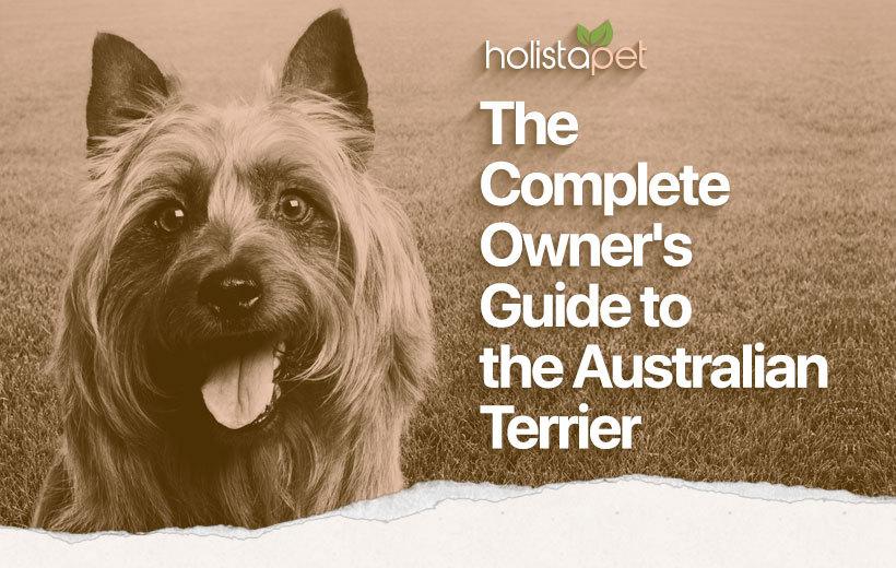 australian terrier feature