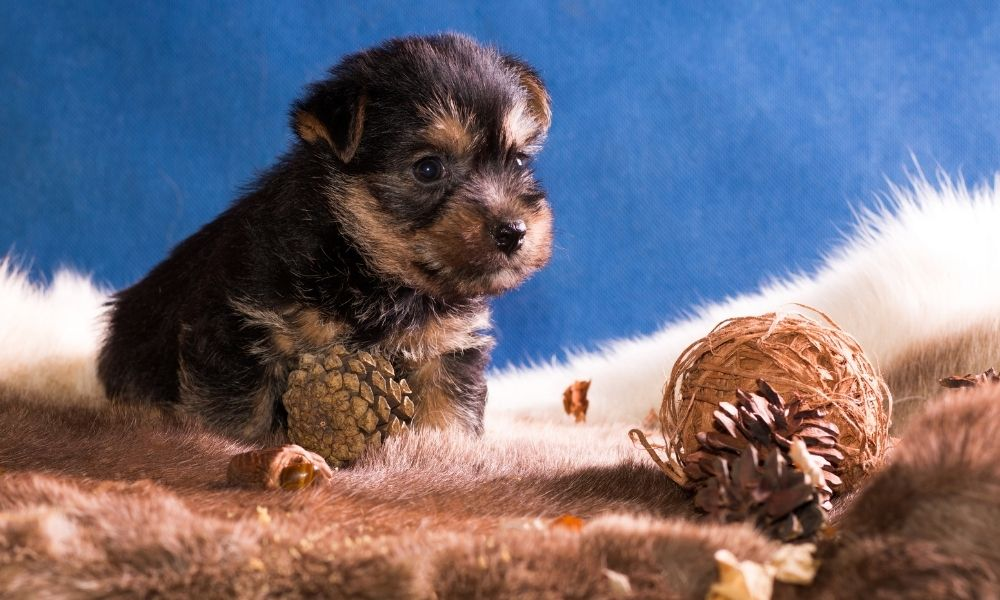 puppy posing on a furry rug