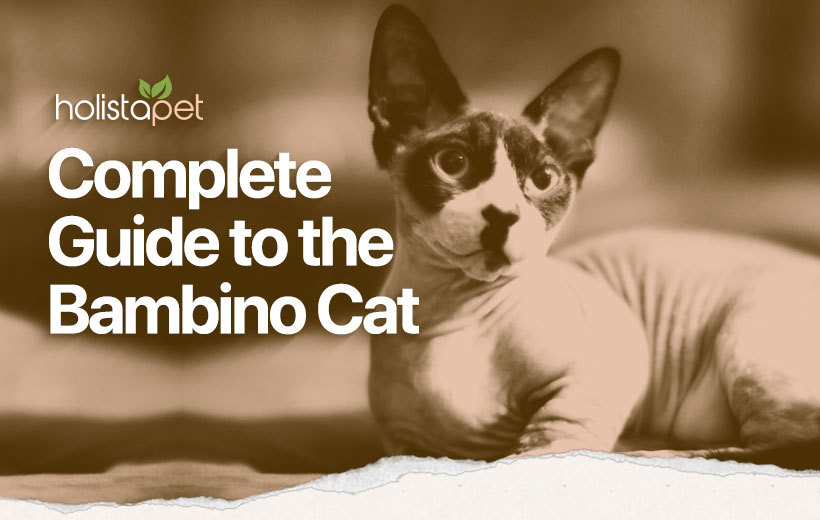 bambino cat feature breed guide