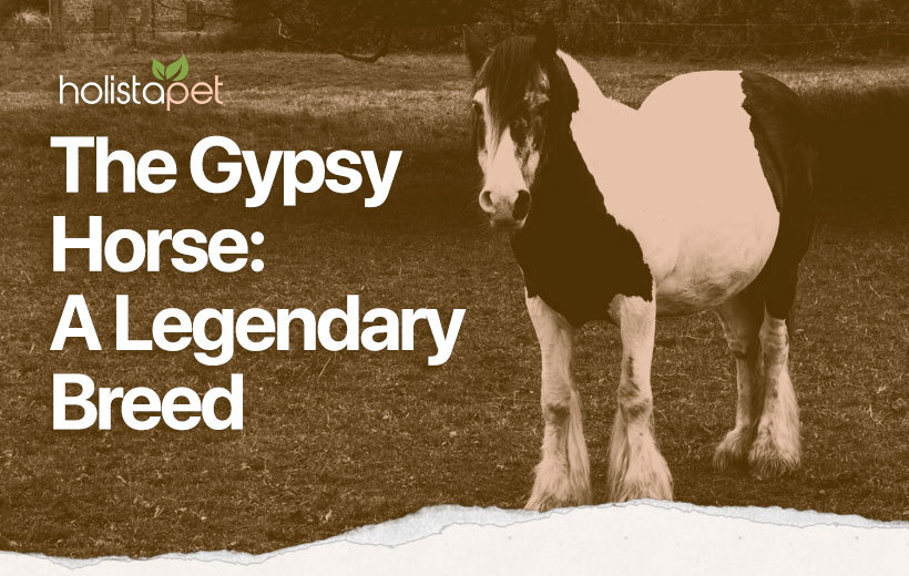 gypsy vanner horse breed guide featured blog image