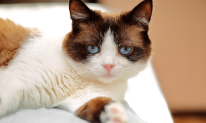 feline with blue eyes staring at camera