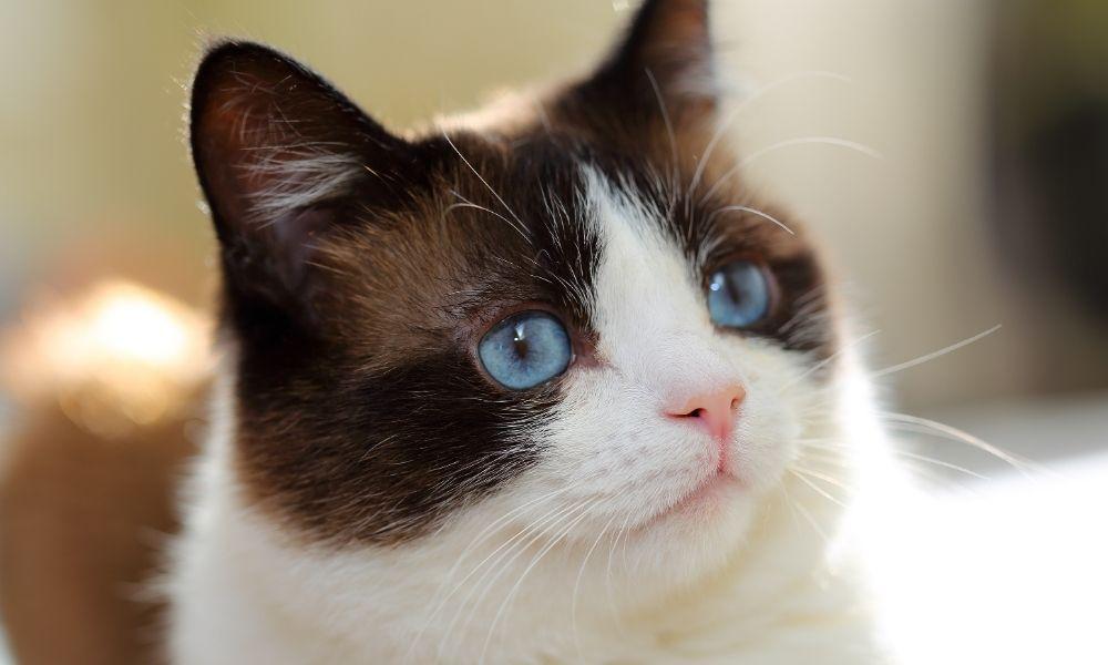 snowshoe cat looking shocked