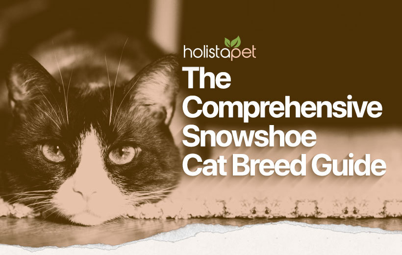 snowshoe cat breed featured blog image