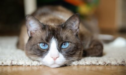 feline with blue eyes on white carpet looking at the camera