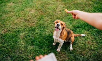 a person rewarding a positive brown dog and its social behavior with treats