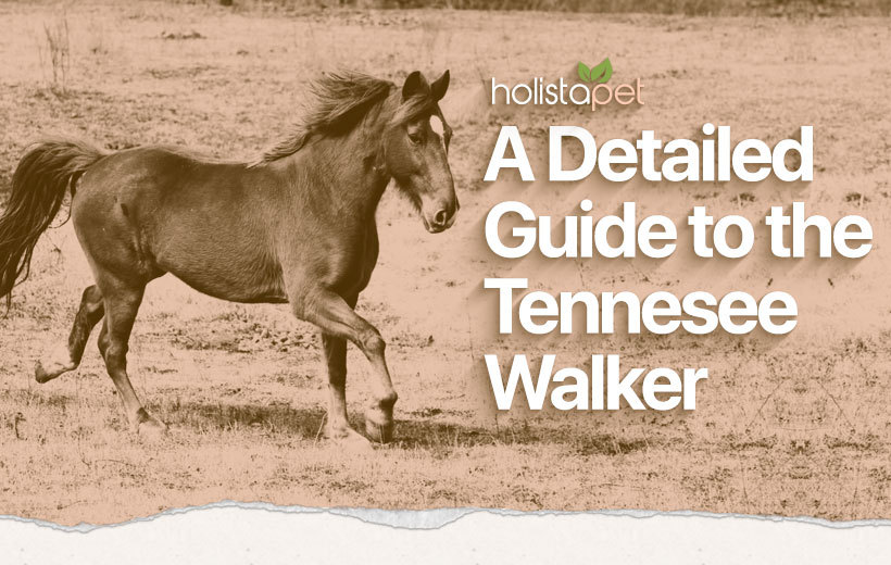 tennessee walking horse featured