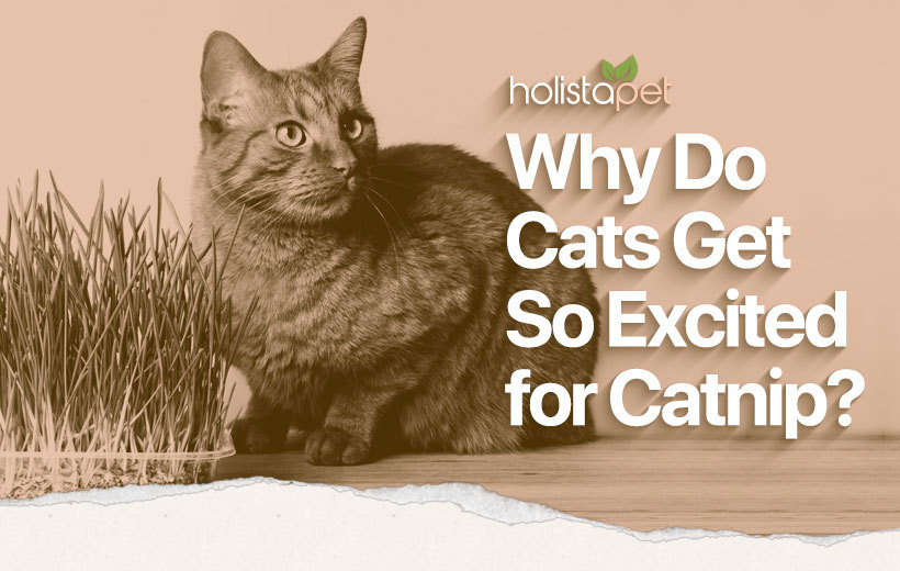 why do cats like catnip featured image