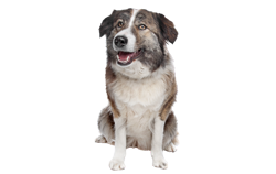 Dog Breed Aidi