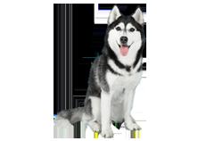 Dog Breed Alaskan Husky