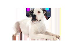 Dog Breed American Bulldog