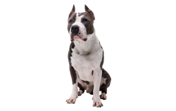 Dog Breed American Pitbull Terrier