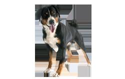 Dog Breed Appenzeller Sennenhund