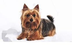 Dog Breed Australian Terrier
