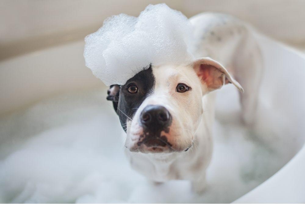 bathing a white and black dog