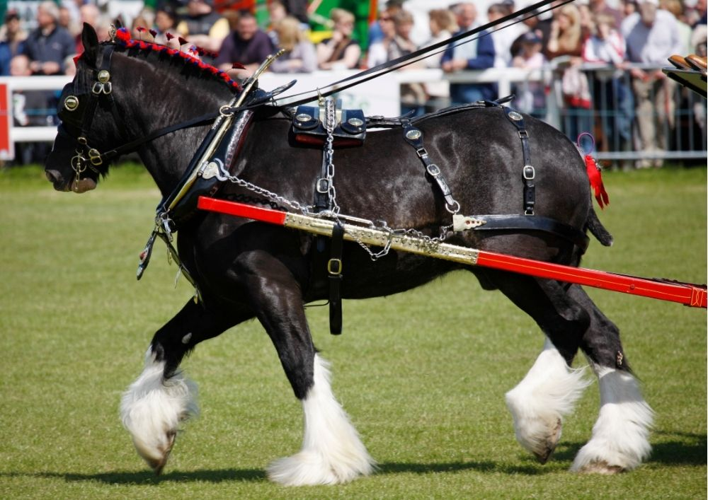 A shire horse pulls a carriage