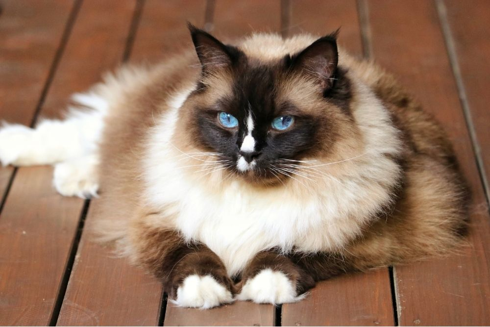 feline laying on wooden panels with bright blue eyes
