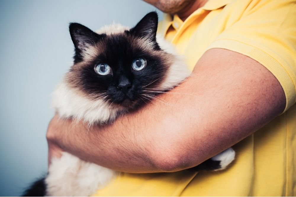birman cat breed in it's owners arms