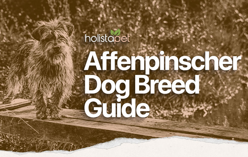 The Affenpinscher breed guide featured blog image
