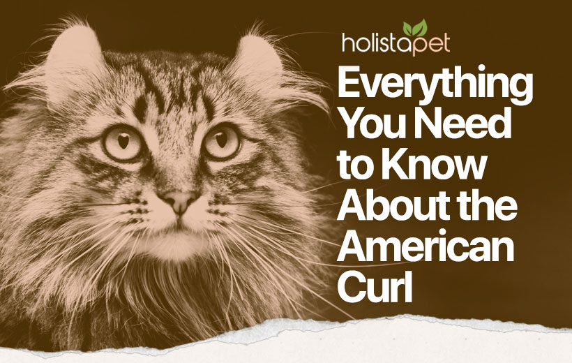 "a longhaired cat with text ""everything you need to know about the american curl"""