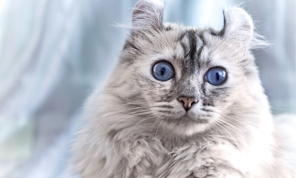 a wide-eyed american curl cat with blue eyes