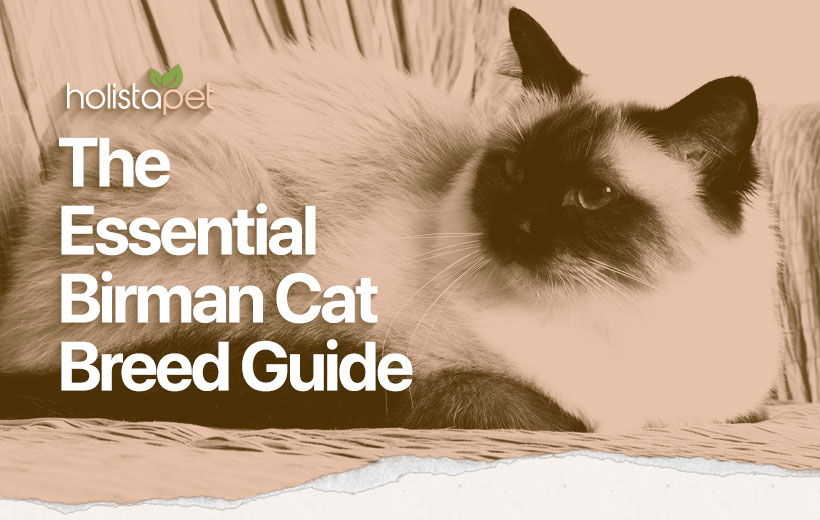 birman cat breed guide featured blog image