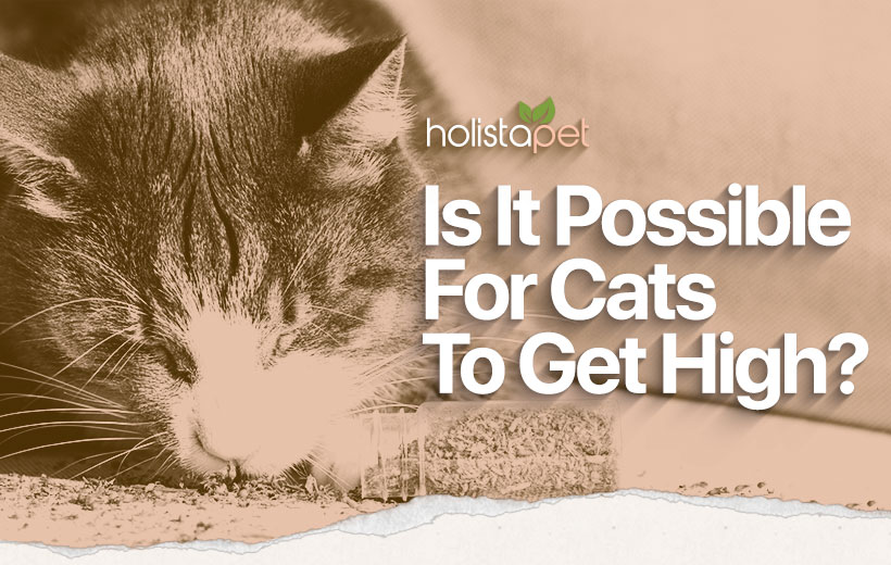 can cats get high featured blog image