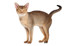 cat breed abyssinian