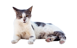 cat breed aegean