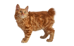 cat breed american bobtail