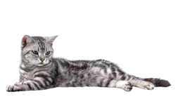 cat breed american shorthair